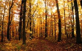 Картинка леса, осень, листопад, осенние обои, листва, дерево, листья