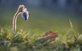 Картинка цветок, трава, божья коровка, бутон