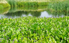 Обои зелень, лето, трава, пруд, камыши, сад, Нидерланды