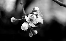 Обои цветок, ветка, лепестки, черно белое, тычинка