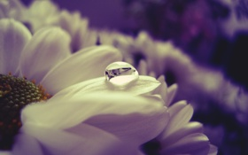 Обои капля, лепестки, вода, цвет, цветок, белый, отражение