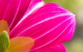 Обои цветок, розовый, обои, лепестки