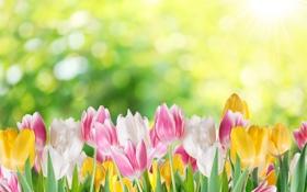 Обои тюльпаны, цветы, боке