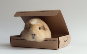 Картинка фон, коробка, морская свинка