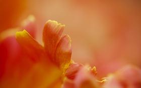 Картинка оранжевый, тюльпан, фокус, лепестки