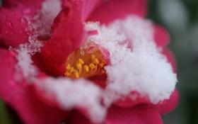 Картинка роза, цветок, снег, холод, розовая, лепестки