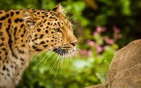 Картинка дикая кошка, профиль, морда, хищник, амурский леопард, усы