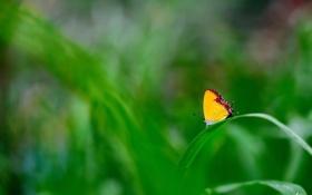 Обои травинка, трава, бабочка, зелень, фокус, желтая