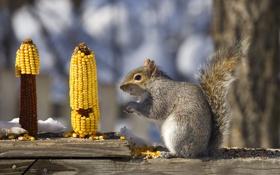 Картинка белка, кушает, кукурузу