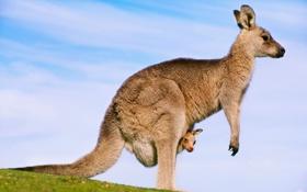 Обои кенгуру, Австралия, небо, облака