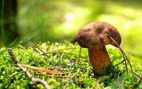 Картинка осень, макро, иголки, гриб, мох, ярко, боке