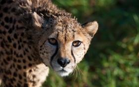 Обои усы, взгляд, морда, хищник, гепард