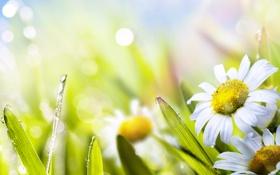 Обои ромашка, трава, солнце, лето, природа, зеленый, цветы