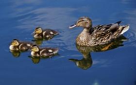 Картинка вода, отражение, утята, утка, птенцы