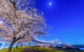 Картинка ночь, мост, огни, Япония, сакура