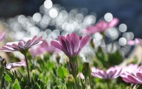 Обои цветы, природа, маргаритки