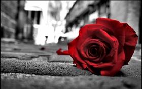Обои макро, улица, роза
