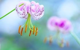 Обои белый, фиолетовый, макро, цветы, пестики