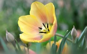 Обои жёлтый, тюльпан, лепестки