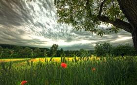 Картинка поле, небо, облака, природа, дерево, маки, колоски