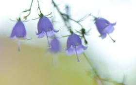 Картинка flower, Ladybells, Adenophora triphylla var. japonica