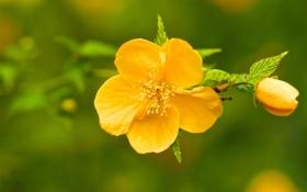 Обои цветок, макро, ветка, бутон, керрия