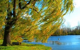 Обои осень, природа, озеро, дерево, берег, ива
