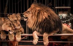 Обои цирк, ограда, львы, звери