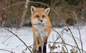 Обои снег, ветки, шиповник, лиса, лисица