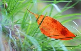 Обои макро, оранжевый, листик, в траве