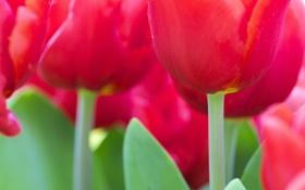 Обои макро, тюльпаны, много, розовые, цветы