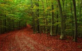 Обои дорога, осень, лес, листья, деревья, природа, фото