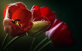 Обои капли, макро, цветы, Тюльпаны, красные