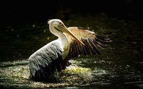 Картинка природа, птица, pelican