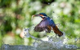 Картинка вода, брызги, птица, рыба, kingfisher, alcedo atthis, обыкновенный зимородок
