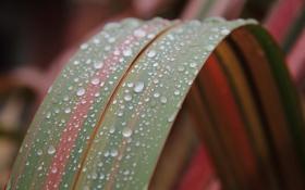 Картинка капли, макро, полоски, лист, роса, полосатый