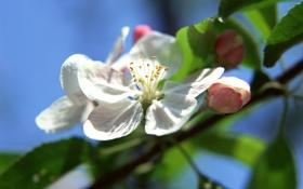 Обои цветок, листья, дерево, лепестки, яблоня