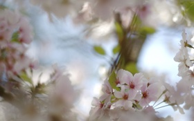 Обои цветение, макро, ветка, вишня, цветы