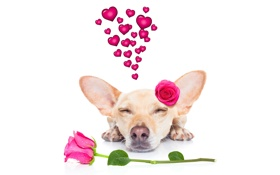 Картинка собака, love, rose, heart, dog, romantic, funny