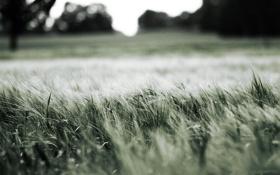 Картинка макро, природа, Трава, колоски, луг, nature
