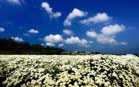 Картинка белые, здания, природа, хризантемы, поле, облака, цветы