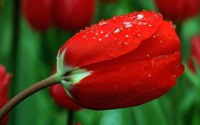 Обои цветок, капли, роса, тюльпан, лепестки, стебель