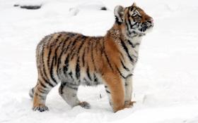 Картинка кошка, снег, тигр, профиль, детёныш, котёнок, тигрёнок