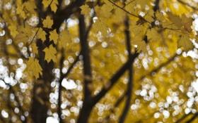 Обои клен, осень, блики, Дерево, желтые, размытость, листья
