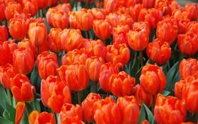 Обои тюльпаны, бутоны, алые