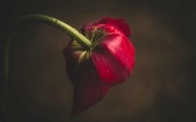 Обои цветок, капли, тюльпан