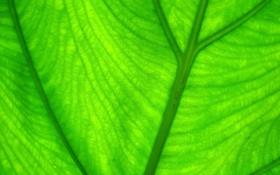Обои зелень, листья, природа, green, листок, зелёный, leaves