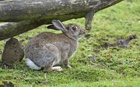 Обои трава, кролик, профиль, бревно