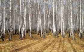 Картинка осень, природа, берёзы, роща