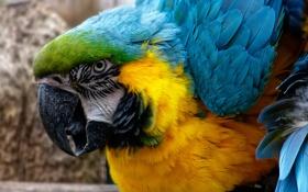 Обои попугай, клюв, перья, макро, краски